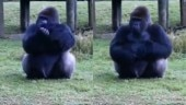 Gorilla uses sign language to tell visitors they can't feed him. Watch mindblowing video