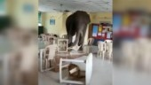 Elephant walks into Hasimara Army canteen in Bengal, causes complete mayhem. Viral video