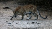 Week on, leopardess that killed minor boy in UP captured