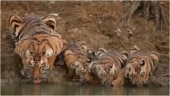 Family of tigers drink water from river. Viral video is your treat for the day