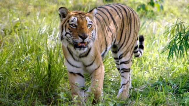 Maharashtra govt refused to pay our fees for eliminating T1 man eating tigress, says Hyderabad based shooter
