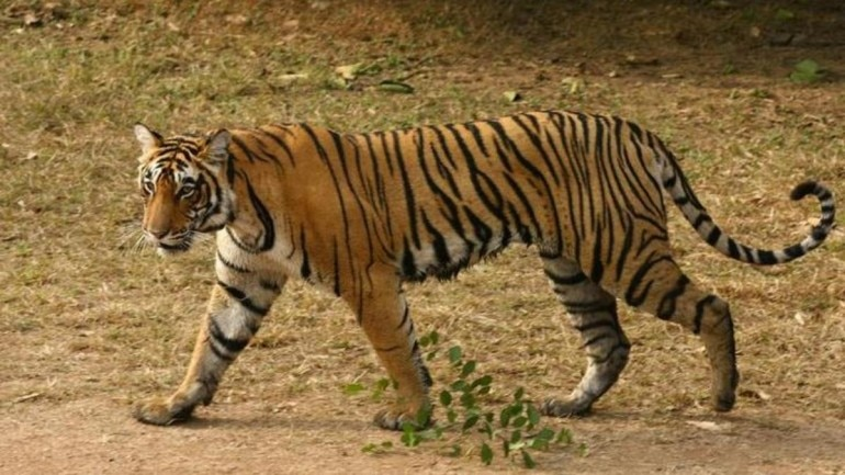 Tiger travels 1,300 km over 150 days across 6 districts to search for its love