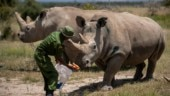 Only 2 left: Researchers create new embryo made of nearly extinct rhino species