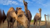 Astonishing story of Australian camels. Why thousands of them are shot dead routinely