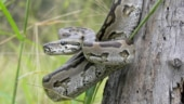 Rescue video of six pythons stuck in pipe in Odisha goes viral. Longest snake is 18 feet long