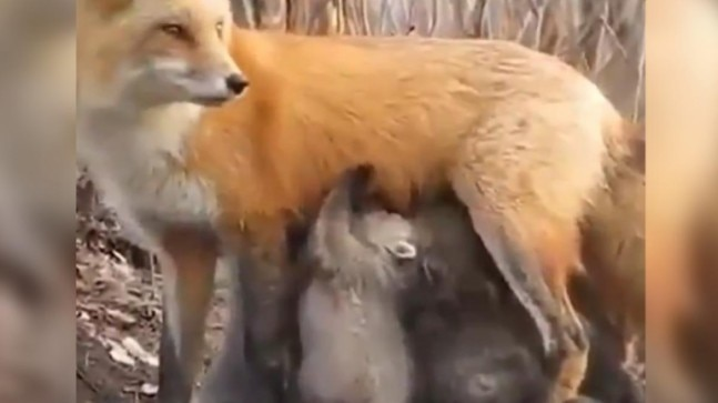 Mama Fox feeds milk to baby Koalas in viral video from Australia. This is motherhood, says Twitter