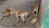 Pics of malnourished African lions at Sudan Park go viral. Online campaigns launched