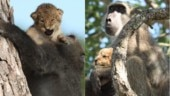 Baboon takes cub to top of tree, gifts Kruger a scene from Lion King. Viral video