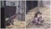 Adorable video of newborn giraffe trying to take its first step goes viral. Internet loves