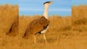 Great Indian Bustard likely to be included in top 10 migratory species list: Environment ministry