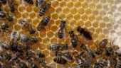 Engineered bacteria to save bees against pests, virus, colony collapse disorder