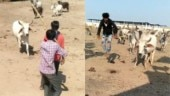Trending on TikTok: This bull rushes to protect man from attackers in viral videos