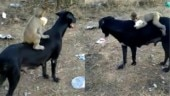 Heartwarming video of baby monkey and dog goes viral. Everyone understands affection, says Internet