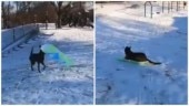 Dog gets its own sledge, rides down the snow. Vivek Oberoi and Chris Evans love adorable viral video