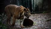 Partially eaten body of man found in Pilibhit Tiger Reserve