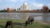 Stray cow attacks foreign tourist at Taj Mahal