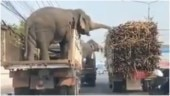 Elephants party on wheels by eating sugarcane from truck. Viral video wins Internet