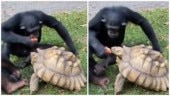 Chimpanzee shares apple with tortoise in adorable viral video. Seen yet?