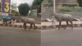 Coronavirus Lockdown: Nilgai walks freely on now-empty Noida roads. Twitter is amazed