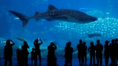 Atomic bombs and whale sharks: How to calculate age of world's largest fish