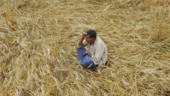 Punjab: Untimely rains add to the woes of farmers, standing wheat crop damaged