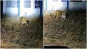 Two leopards spotted at Deolali Air Force Station in Nashik district. Watch video