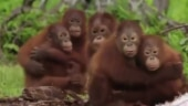 This is how orphaned baby orangutans are taught to fear snakes. Adorable video delights Internet