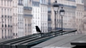 With tourists gone, birds explore landmarks in Paris during coronavirus lockdown