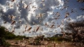 Worst attack in 27 years: Swarms of locusts destroy crops in several states