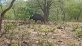 Bison spotted for first time in Singhauri Sanctuary in MP's Raisen district