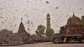 Delhi preps for locust attack, govt orders spraying of pesticides