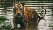 Sunderbans tiger count climbs to 96 from 88; double jump in tiger sightings during lockdown