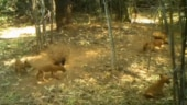 Adorable video of endangered dhole pups playing outside their den goes viral. Seen it yet?