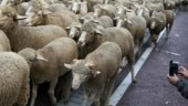 Drought drives Australia's sheep flock to record low