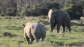 Video of elephant throwing stick at angry rhino to scare it away goes viral. Seen yet?