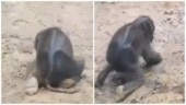 Adorable video of baby elephant trying to stand up on its feet will make you go aww