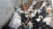 Cows seen in very less numbers: BJP MLA writes to UP CM, alleges cow slaughter amid lockdown
