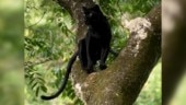 Video of black panther sitting on tree goes viral. Twitter is reminded of Jungle Book's Bagheera