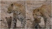The Internet cannot get enough of this viral video of a leopardess playing with her cub. Watch