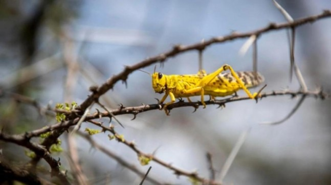 Videos of locusts in Mumbai go viral, officials debunk claim