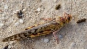 Locust swarms enter MP's Balaghat district from Maharashtra