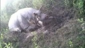 Assam: Poachers kill one-horned rhino in Kaziranga amid lockdown