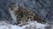 Snow leopard captured in Himachal's Spiti, sent to nature park in Shimla
