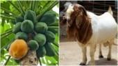 Tanzania: Testing kits report goat, papaya Covid-19 positive, presidential probe ordered