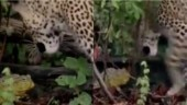 Can you guess who wins in a fight between frog and leopard? This viral video has the answer