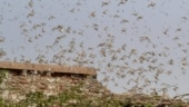Rajasthan CM urges Centre to consider diplomatic means to tackle locust menace