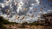 Pakistan battles locusts by turning them into chicken feed