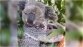 Koala hugs her baby in adorable viral video. So cute, says Internet