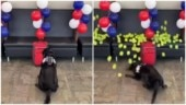 Bomb sniffing dog gets the best reward for his final sniff before retirement. Viral video
