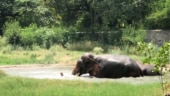 Elephants have pool party to beat the heat. Viral video will make you go aww
